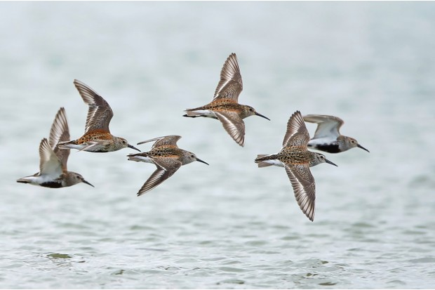 Dunlins in flight with water in the background