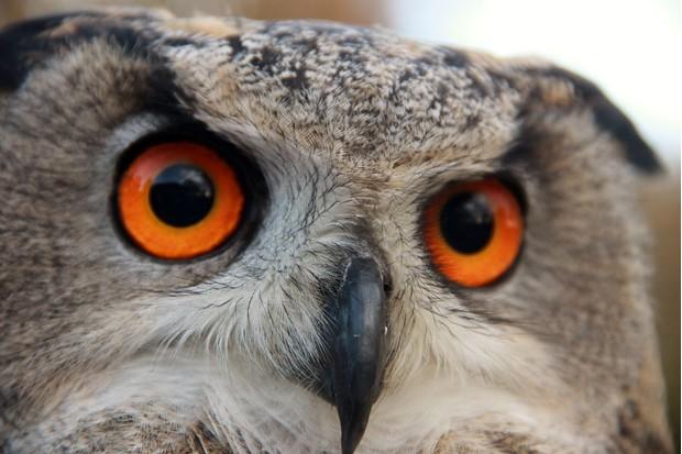 Eagle-owl-9ddf53e