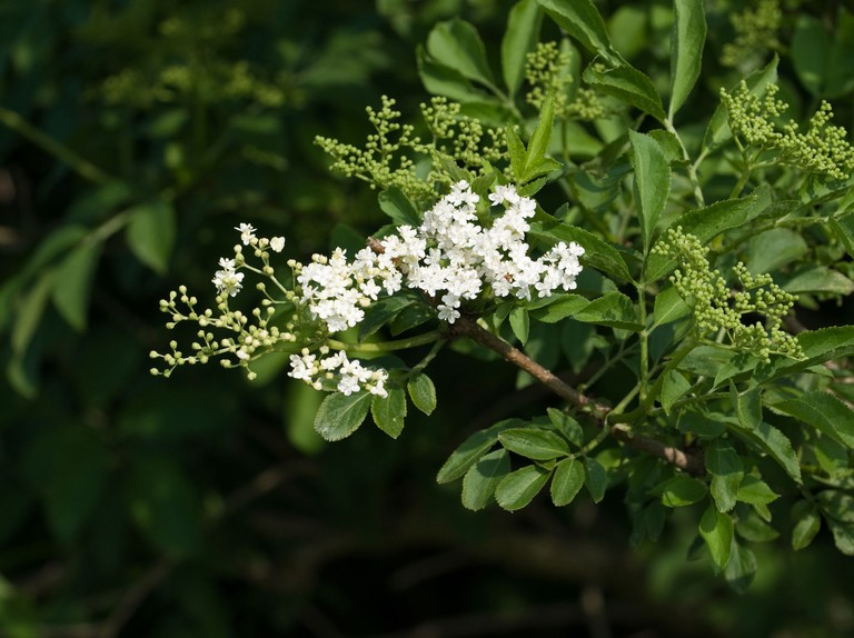 Elderflower guide: where to find it, how to identify and recipe ideas