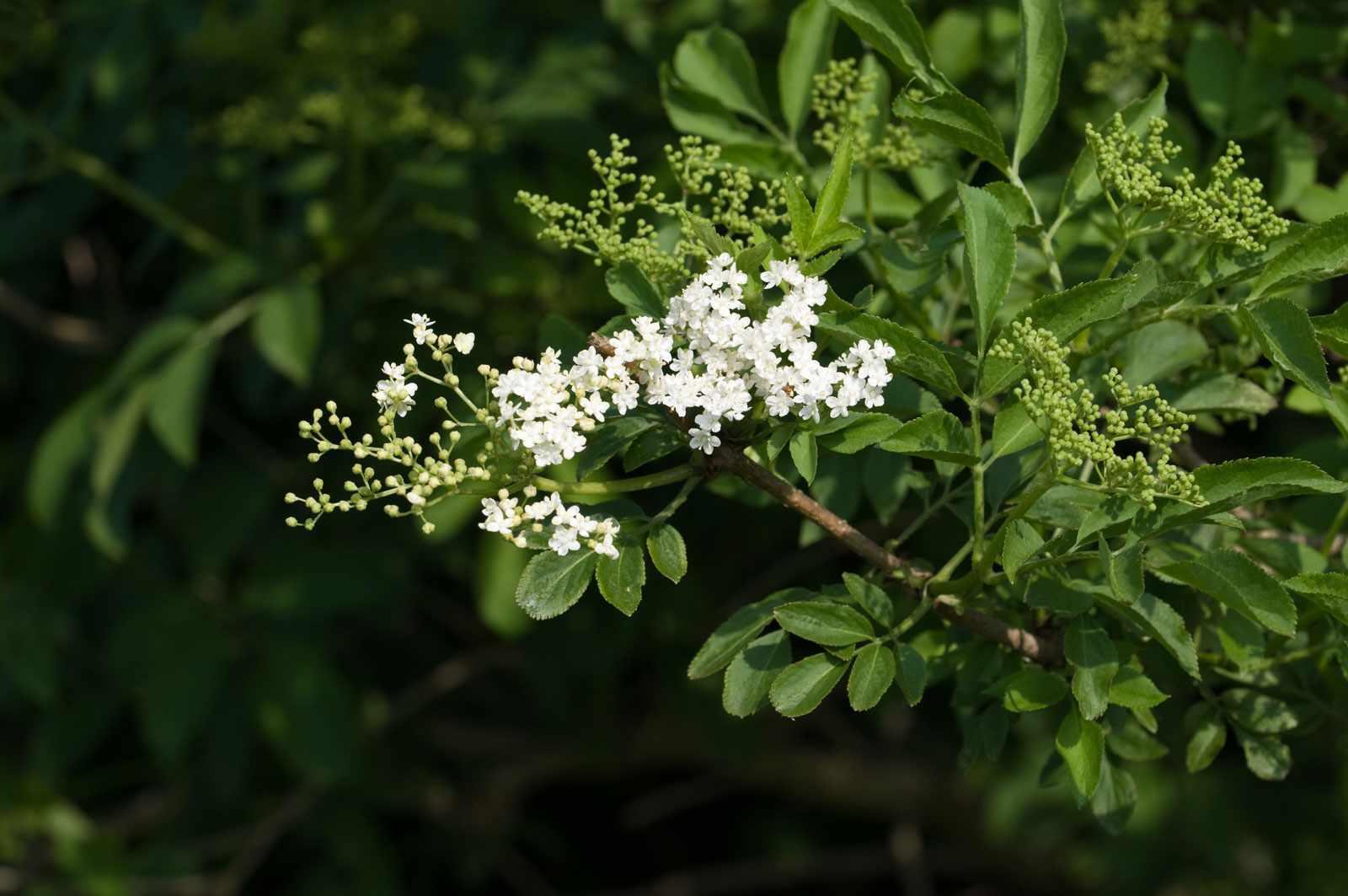 Elderflowertree-e0efdb7