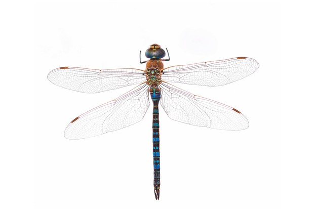 Guide to Britain's dragonflies and damselflies