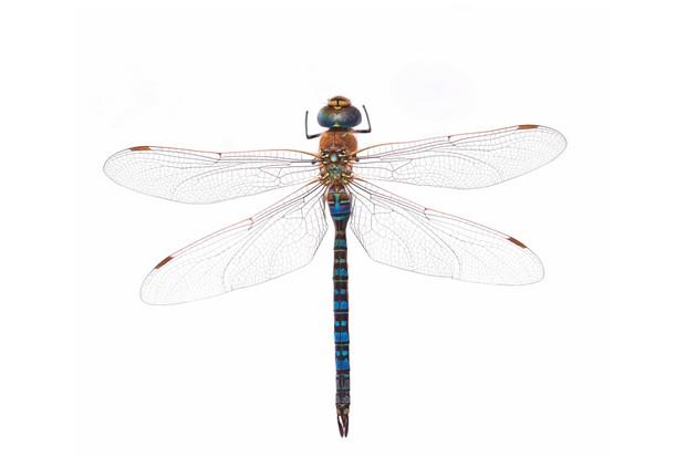 Emperor20dragonfly-f24f5f7