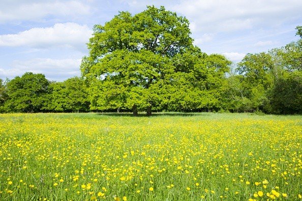 UNITED KINGDOM - JUNE 01: English Oak tree, Quercus robur, in a field of buttercups in summer in Swinbrook, the Cotswolds, Oxfordshire, UK (Photo by Tim Graham/Getty Images)