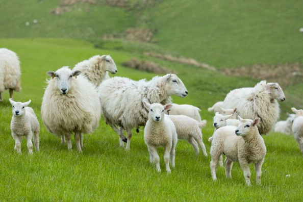 UNITED KINGDOM - MAY 20: Flock of sheep ewes and lambs in the Brecon Beacons in Wales, United Kingdom (Photo by Tim Graham/Getty Images)
