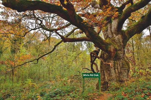 White Road Oak, Savernake Forest