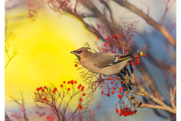 FEB20-Waxwing Lyrical by David Higgins ©David Higgins