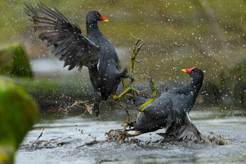 This image shows two moorhens fighting in water during a rain storm. The image was captured at Martin Mere nature reserve, Lancashire, United Kingdom. This image is a single exposure and is showing natural behaviour between wild birds. I observed these birds fighting in this manor and moved as close as I could to the action to take this photo. The birds were pre occupied with fighting and didn't notice me at all.