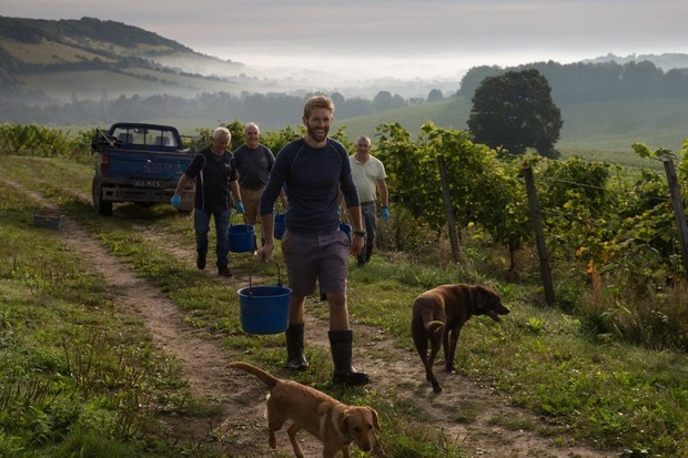 First day of picking at Denbies Wine Estate, Dorking, Surrey. Viticulturist Duncan McNeill (centre frame) and his team prepare to harvest the first Solaris grapes.The 2016 harvest is anticipated to be exceptional thanks to near perfect growing conditions throughout the summer months and a warm September.