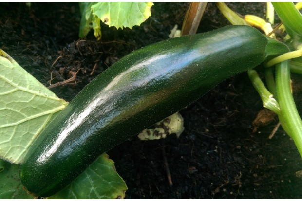 First20courgette_1-1627230
