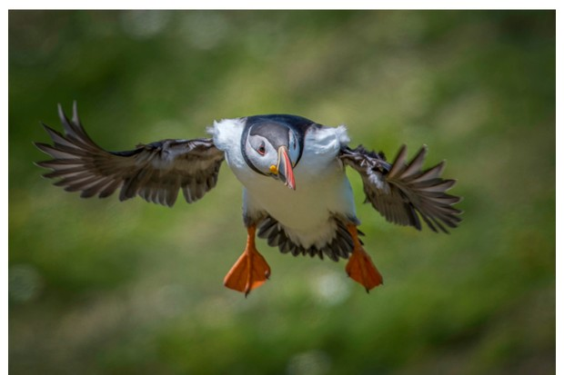 Flying20puffin-f5e2202