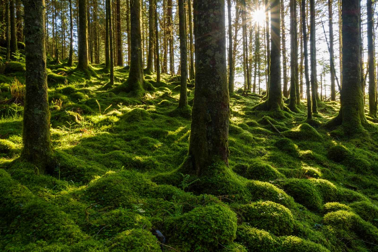 600-09013880 © Raimund Linke Model Release: No Property Release: No Moss covered ground and tree trunks in a conifer forest with the sun shining through the trees at Loch Awe in Argyll and Bute in Scotland