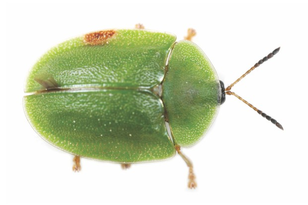 ACM3W8 Green Tortoise Beetle Cassida viridis from above on white background