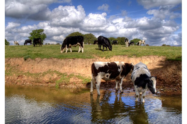 Cattle grazing by the Lancaster Canal © Getty