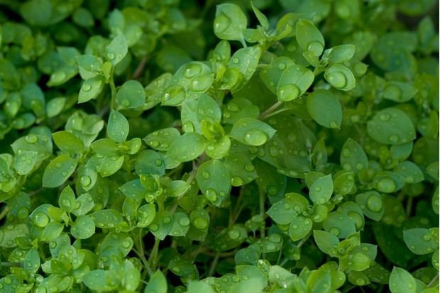 Chickweed with many water drops.