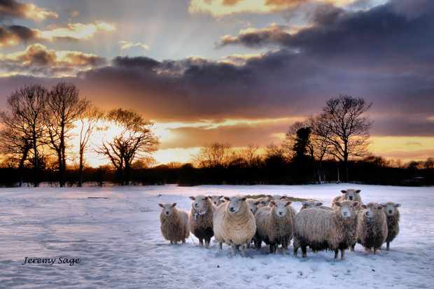 These sheep all turned to look at me as they stood in snow sun went down on cold winters day.