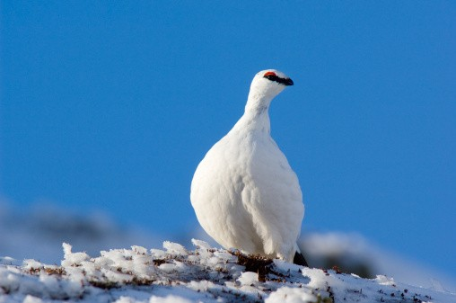 Ptarmigan (Lagopus mutus), male in white winter plumage, Scotland.