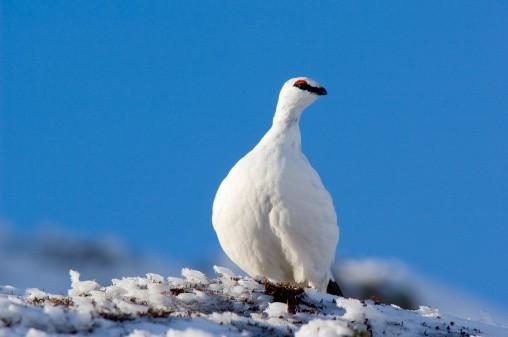 Ptarmigan (Lagopus mutus), male in white winter plumage, Scotland.