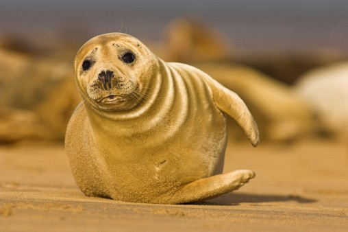 Grey seal (Halichoerus grypus) pup at a seal colony on a sandbank off the mouth of the Humber estuary.