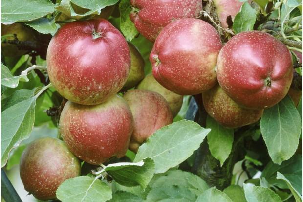 apple 'pitmaston pineapple', october
