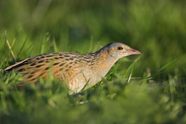 Corncrake Crex crex Balranald North Uist Outer Hebrides Scotland