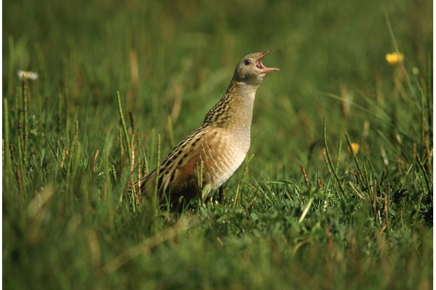 corncrake, crex crex, male calling, may, outer hebrides, scotland