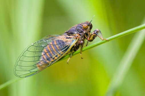 New Forest cicada (Cicadetta montana) sitting on culm, Jurassic mountains, Bavaria, Germany
