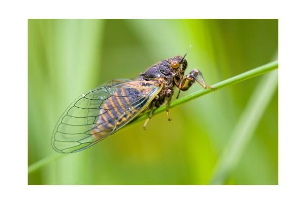 New Forest cicada (Cicadetta montana) sitting on culm, Jurassic mountains, Bavaria, Germany