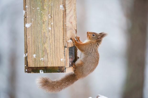 Red Squirrel Sciurus vulgaris on bird feeder in winter. Scotland. February.