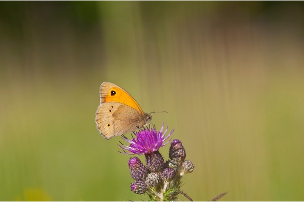 Meadow Brown butterfly (Maniola jurtina) on Marsh Thistle, Norfolk UK
