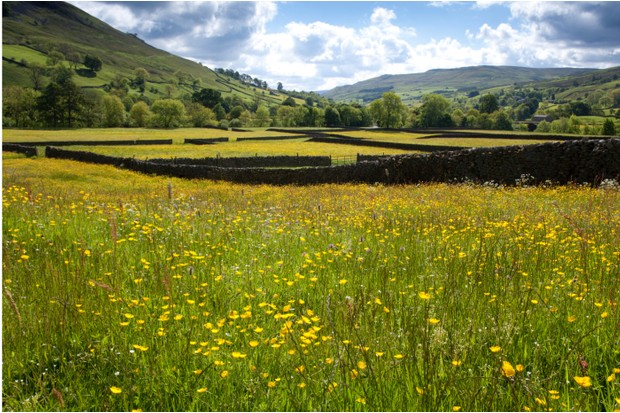 Wild flowers in bloom in hay meadows, Muker Meadows, Swaledale, Yorkshire, England