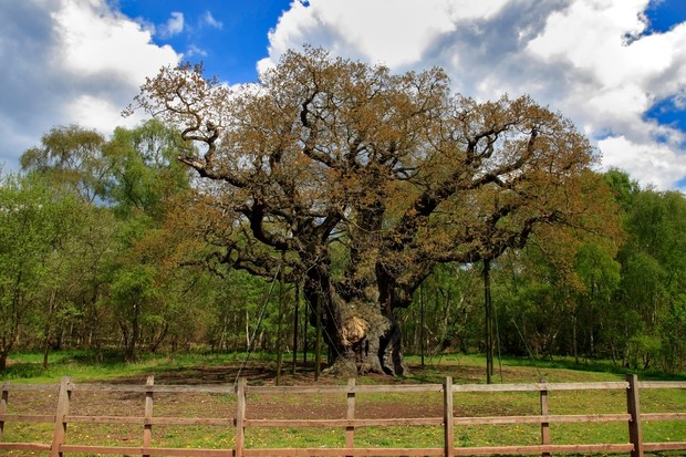 Ancient Major Oak Tree in spring, Sherwood Forest