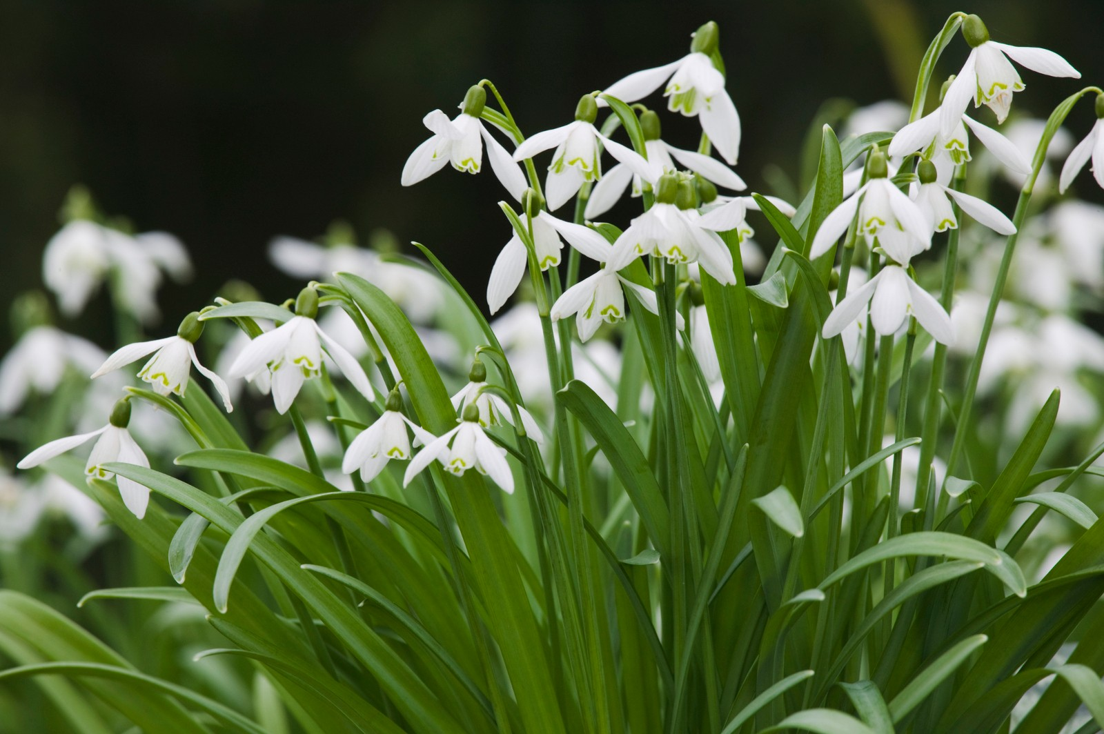 Snowdrops, Galanthus nivalis, in flower in March, Teignmouth, Devon, Great Britain.