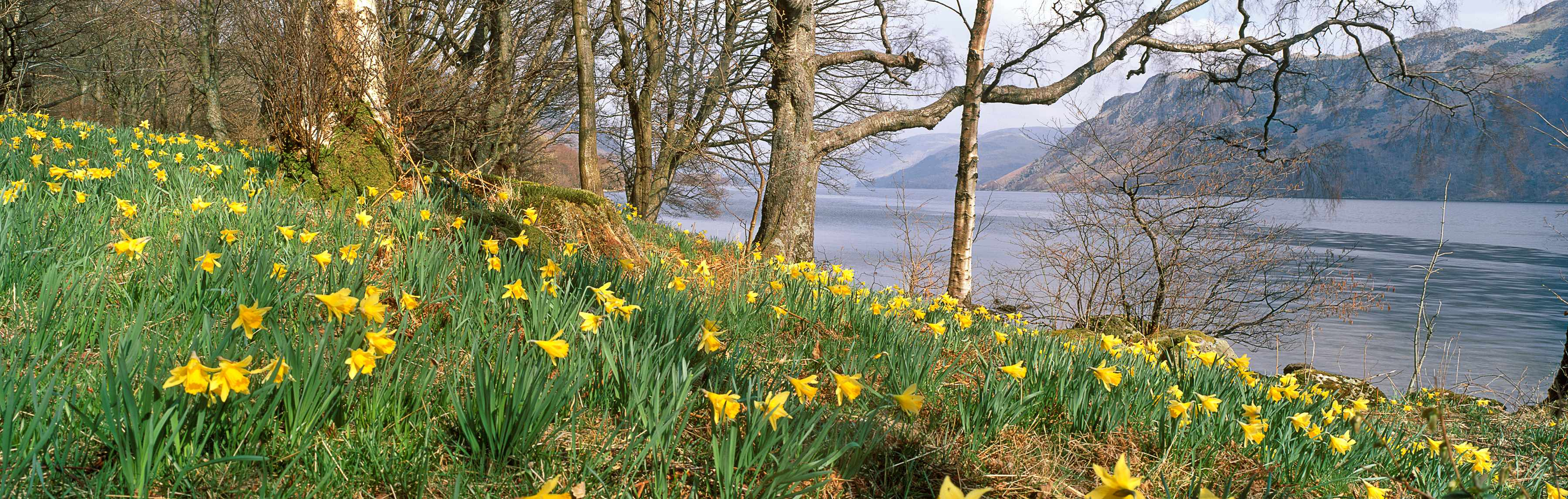 "Wild daffodils on the shoreline at Glencoyne with Ullswater and mountains behind, an inspiration for William Wordsworth's poem ""I wandered as Lonely as a cloud""."
