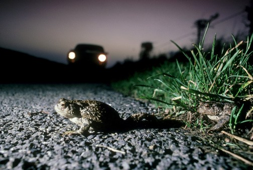 common toad bufo bufo trying to cross road, car approaching. hampshire. u.k