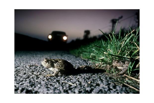 common toad bufo bufo trying to cross road, car approaching. hampshire. u.k