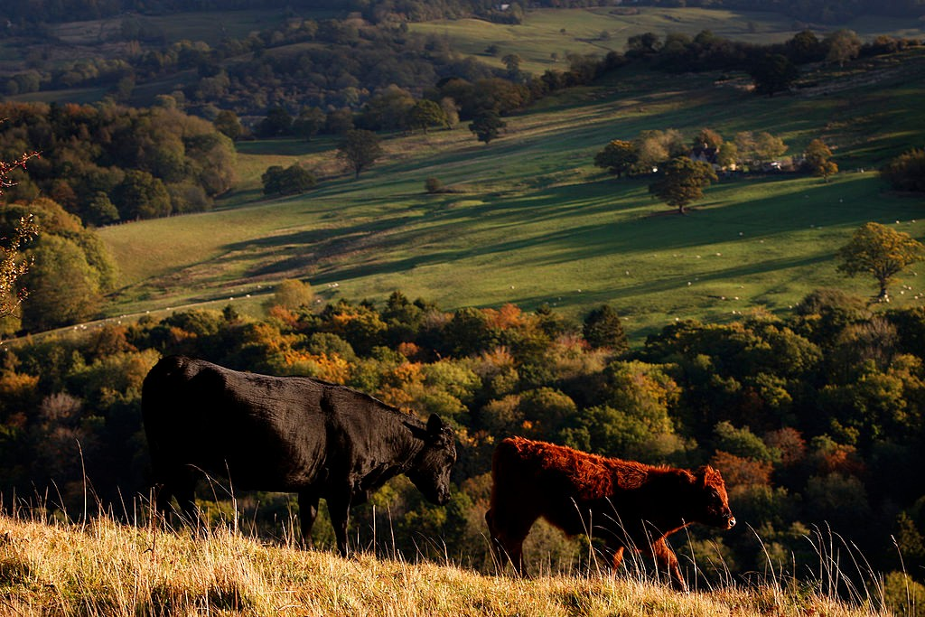 CHELTENHAM, ENGLAND - OCTOBER 25:  Cows graze in the early morning sunlight on the upper slopes of Leckhampton Hill in the Cotswolds on October 25, 2011 in Cheltenham, England. The hill, which lies to the south of Cheltenham within the Cotswolds Area of Outstanding Natural Beauty, forms part of the Cotswold escarpment site and his home to an abundance of wildlife.  (Photo by Dan Istitene/Getty Images)