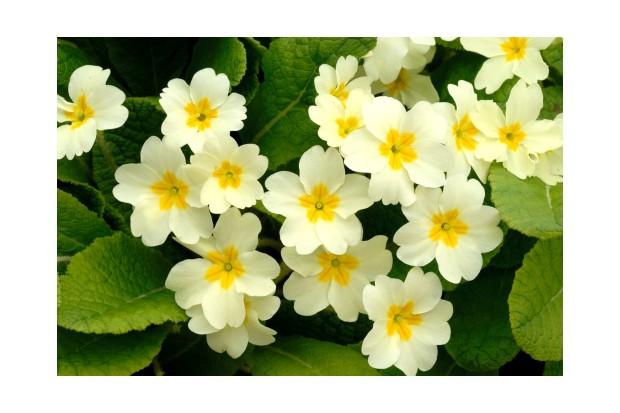 Common primroses {Primula vulgaris} in bloom near Bradworthy in Devon.