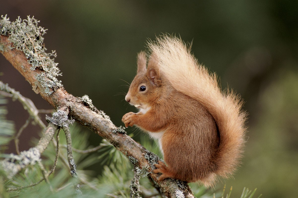GettyImages-135601701redsquirrel-2f1565a