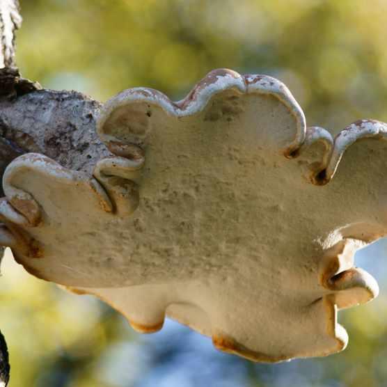 Fungi birch polypore in Kent.