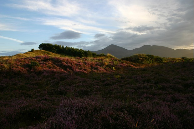 Evening sun on the heather at the foot of the Mourne Mountains, Northern Ireland