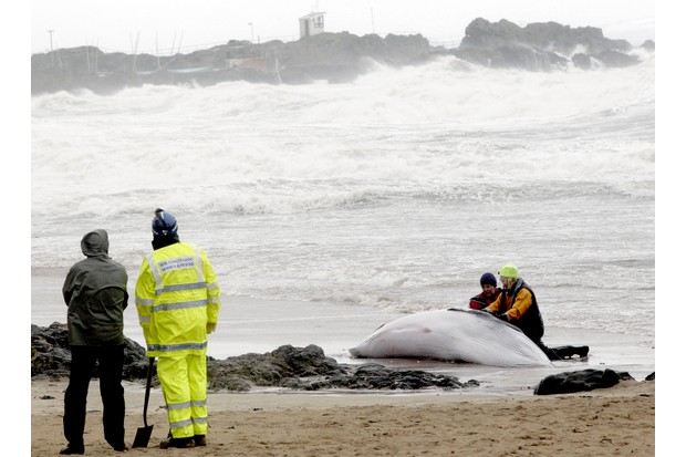 A member of British Divers Marine Life Rescue attend to a beached Minke whale on East Beach, North Berwick, East Lothian in Scotland. The whale was expected to be 'put down' by a veterinarian as it was unable to be returned to the sea.  AFP PHOTO / GRAHAM STUART (Photo credit should read GRAHAM STUART/AFP/Getty Images)