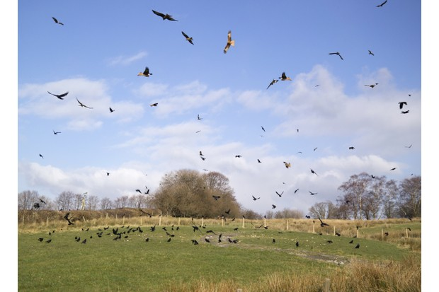 Feeding Red Kites at Gigrin Farm, Wales