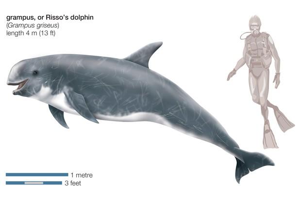 Risso'S Dolphin (Grampus Griseus). (Photo By Encyclopaedia Britannica/UIG Via Getty Images)