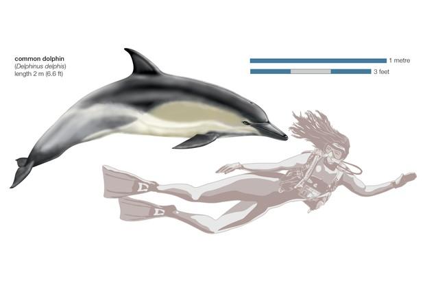 Common Dolphin (Delphinus Delphis). (Photo By Encyclopaedia Britannica/UIG Via Getty Images)