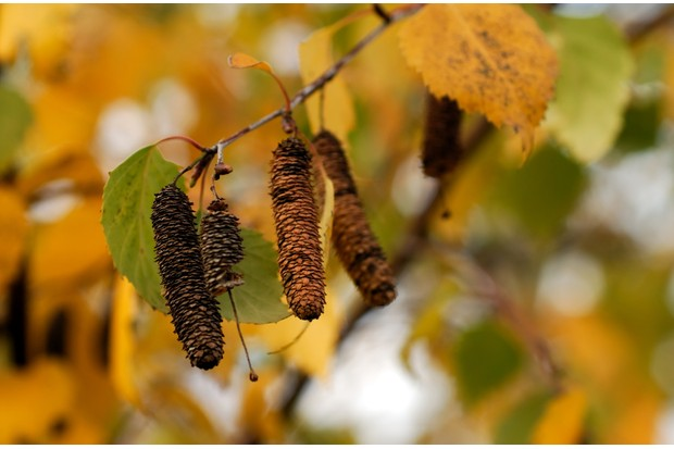 Autumn color on a white birch tree. Catkins hang down from tip of branch.