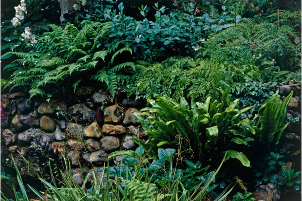 Hart's Tongue, Shield and Chain ferns growing near stone wall in botanical garden
