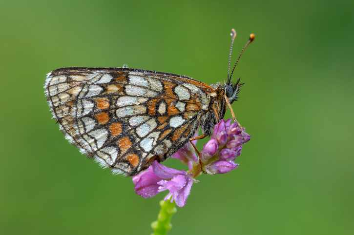 Heath Fritillary (Mellicta athalia). Bavaria, Germany, Europe.