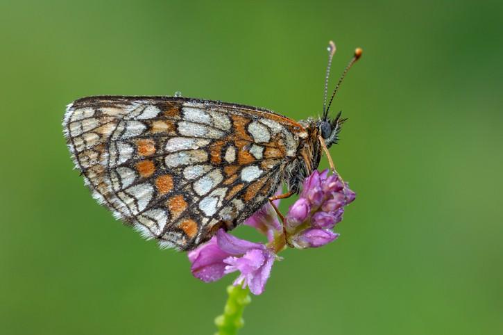 Heath Fritillary (Mellicta athalia). Bavaria, Germany, Europe.