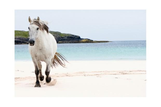 White Eriskay Pony, Barra