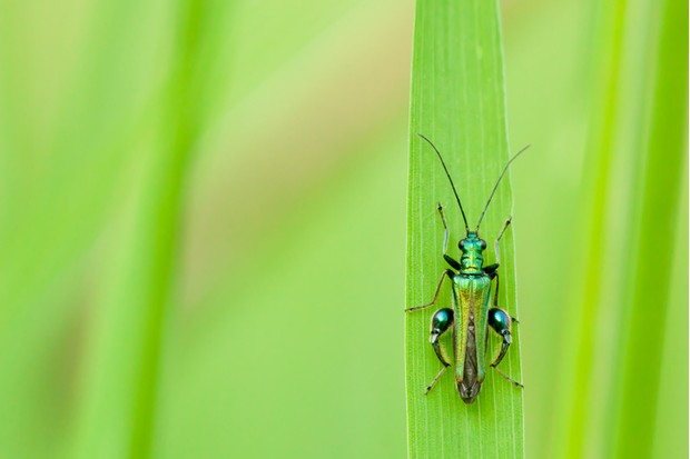 Thick Legged Flower Beetle - Oedemera nobilis